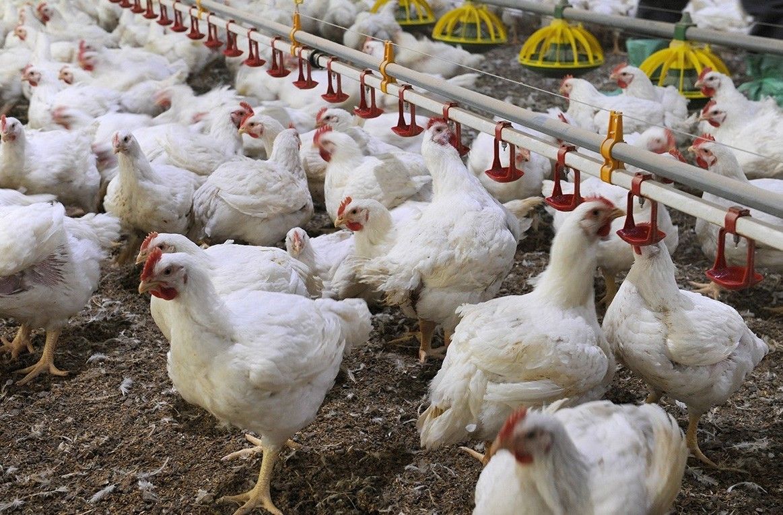 Aviaria: Hong Kong ferma polli e uova da