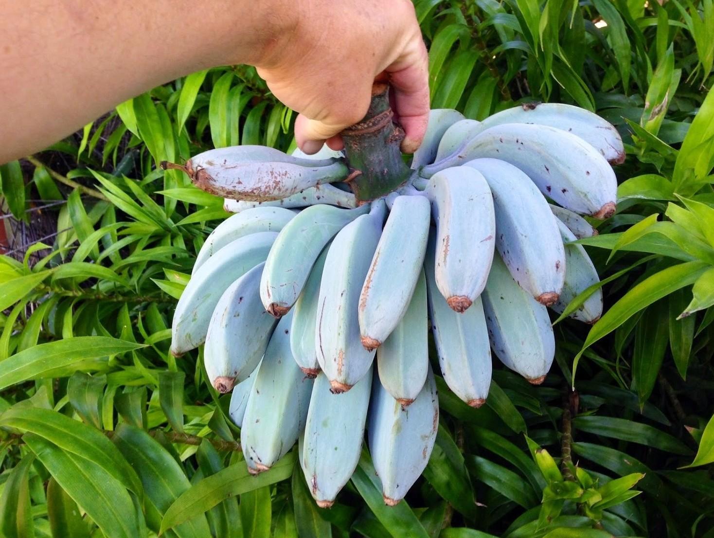 Banana azzurra, al gusto di gelato. Si p