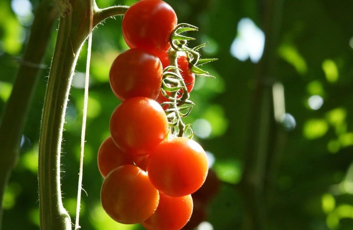 Pomodori italiani, rischi molto gravi. E