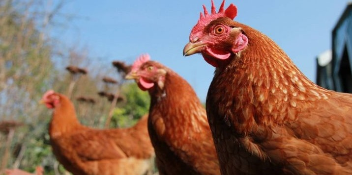 McDonald's, polli da escrementi ustionat