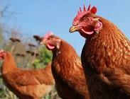 McDonalds, polli, animalisti, campagna pubblicitaria